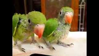 Cute Baby Indian Ringneck Parrots