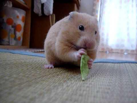 うっとりしながらキヌサヤを食べるキンクマハムスター