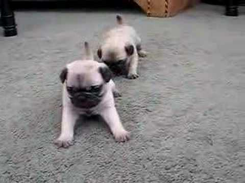 Pug Puppies 4 Weeks Old Video