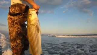 Big Rockfish and Black drum off the surf, Virginia's eastern shore