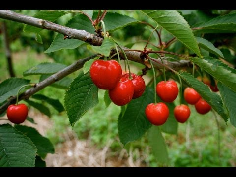 The revival of the great British cherry