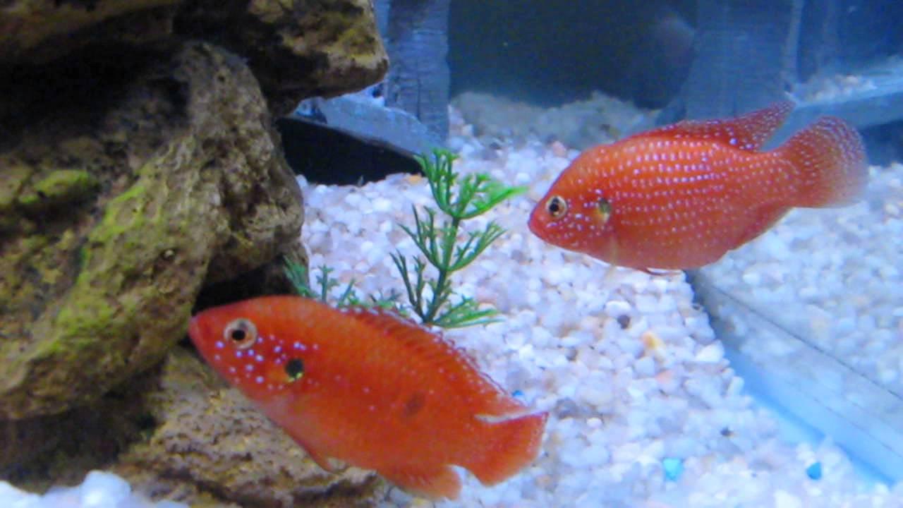 Red Jewel Cichlid Eggs Breeding Cichlids Corner Aquarium