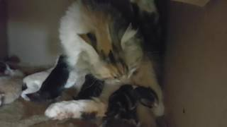 Cat gives birth to 7 beautiful kittens.