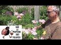 Chaîne Tv De Jardinage Taille Et Entretien Filipendula Red Umbrellas Plante Vivace mp3