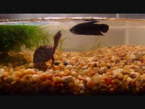 Turtle betta guppies goldfish videolike for Can betta fish live with other fish