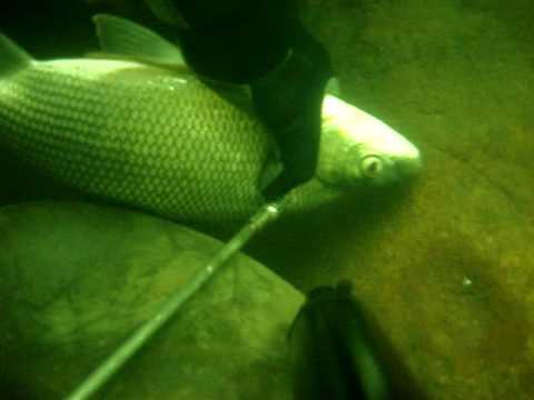 spearfishing bocachico