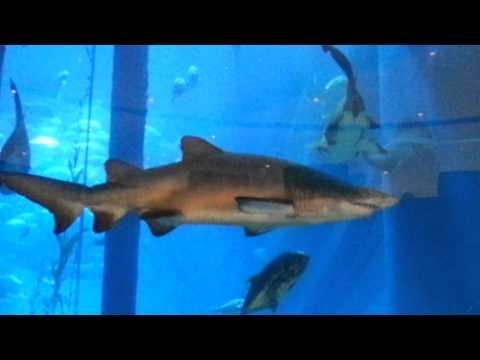 Sand Tiger Sharks Dubai Aquarium.  29.09.2014