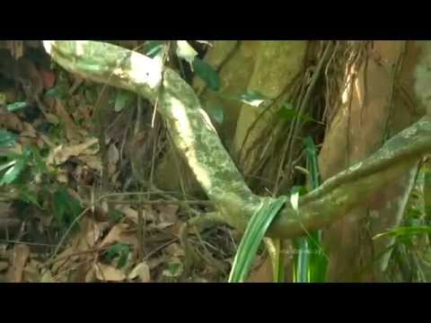 Kavile Pattu video