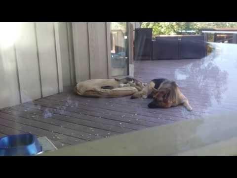 German Shepherd Puppy: Nap Time