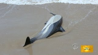 More Than 120 Dead Dolphins Along U.S Eastern Coast August 2013