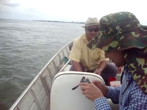 Pescaria Piapara Gigante no Rio Paranazão Castilho SP