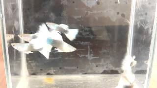 Big blue guppy farm clip.3 Tuxedo white tail clip by Micky Red Tail