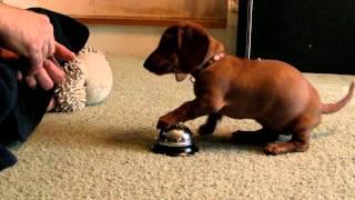 Cachorro toca campainha para ganhar ração
