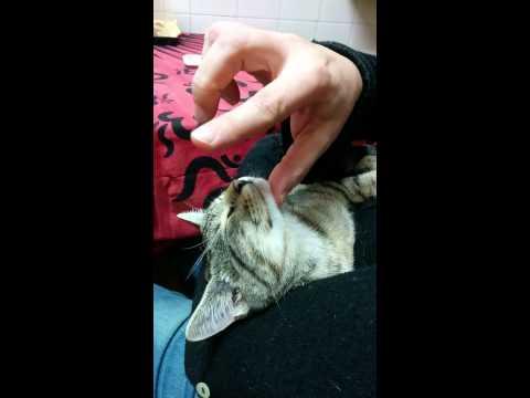 Hipnotitzant el gat