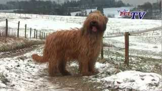 Briard in not