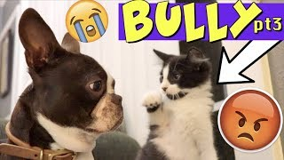 Kittens won't stop bullying Boston Terrier Puppy PART 3 | TRY NOT TO LAUGH
