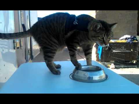 revelan las causas que llevan a los gatos a correr el platito del que toman agua