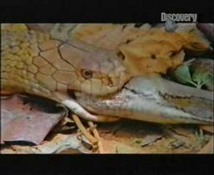 Cobra vs. Python