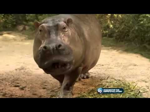 Kitkat Beatboxing Hippo Ad video