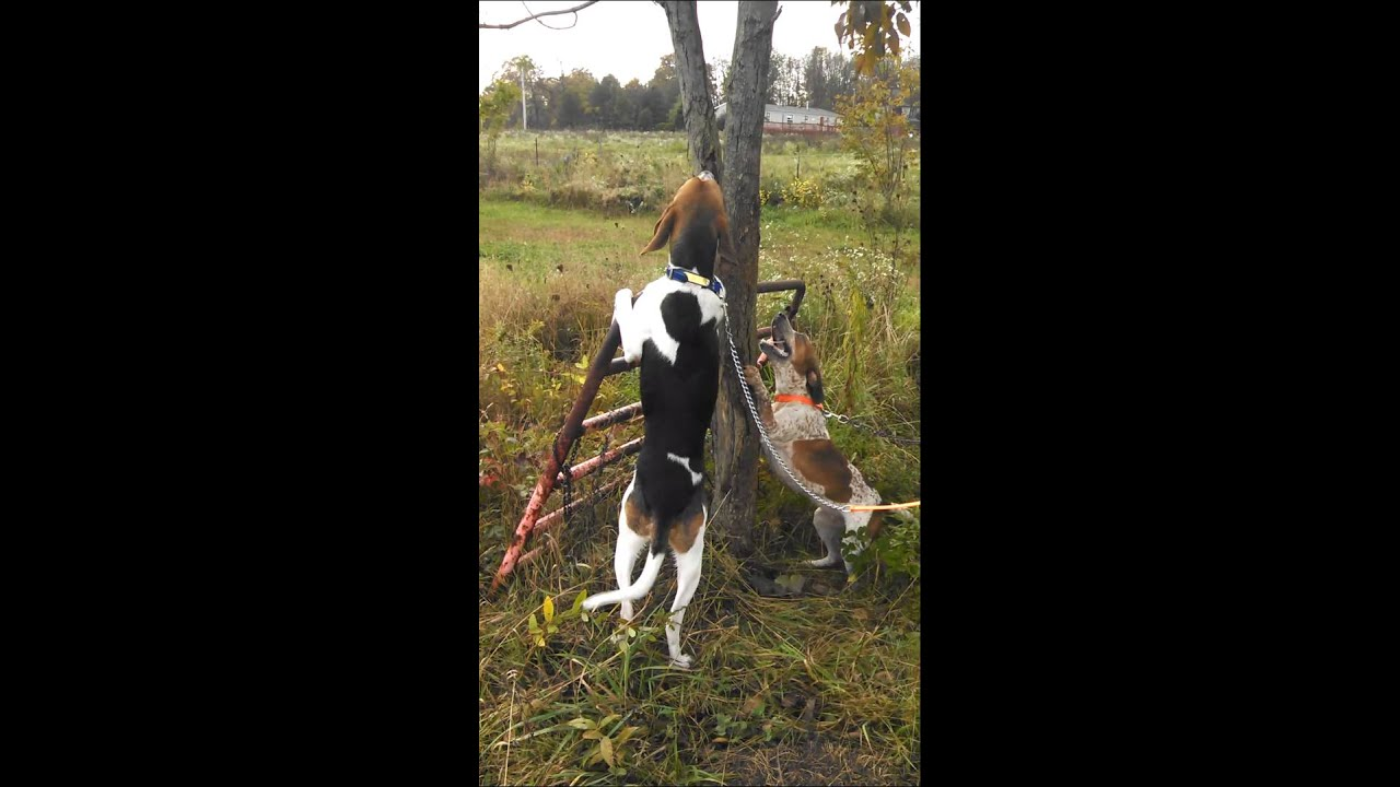 maxresdefault jpgRedbone Coonhound Treeing