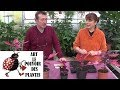 Chaine Tv De Jardinage Iresine Herbstii Comment Arroser Et Bouturer Plante Verte mp3