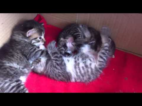 Pisici Mici - Little Kittens video