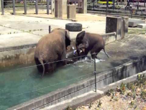 とべ動物園 ゾウ親子の水浴び20100817_143.AVI