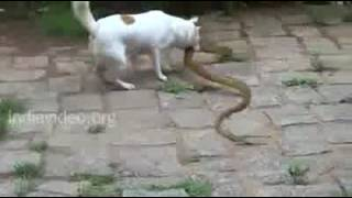 Fight between a dog and a snake Video   Download for Free on Mobango com