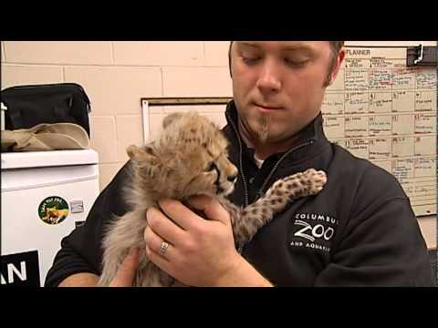 TOO-CUTE VIDEO: Baby Cheetahs