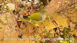 African Green Pigeon (Treron calvus) feasting on fruit