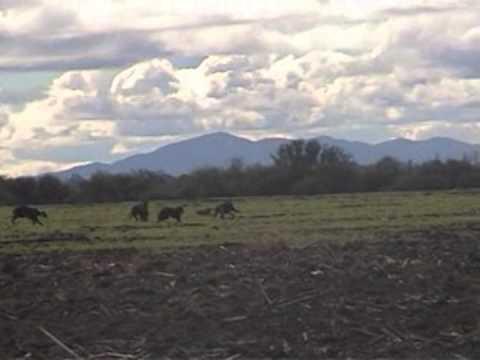 caza de liebres con galgos Parral-Chile 7