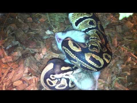 Питон региус ест хомяка/ Python regius eats hamster