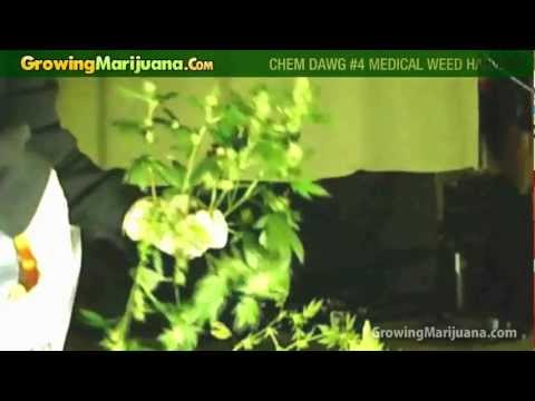 Growing Weed - Chem Dawg #4 Medical Marijuana Strain Harvest
