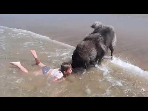 big dog saves swimming girl - 998942 thumbnail