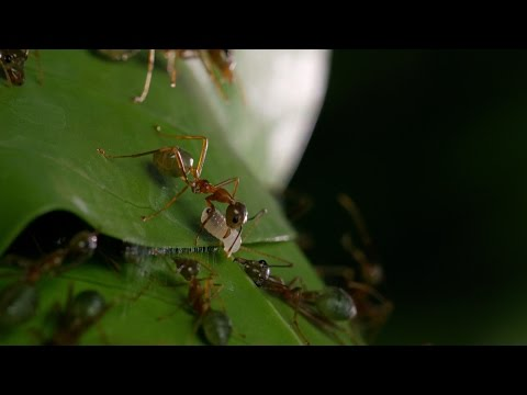 Ant glues home together - Life Story: Episode 3 preview - BBC One