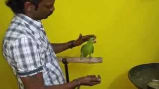 Red lored amazon hand feeding in (Preethi Farms)