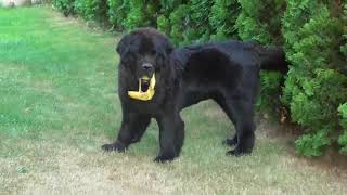 Newfoundland dog Steal banana