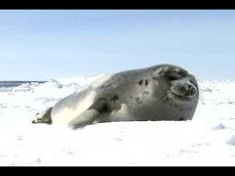 The Life of a Baby Harp Seal