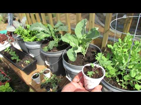 Growing Kale & Collards in Containers: Patio Garden - MFG 2014