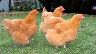 English chicken breeds