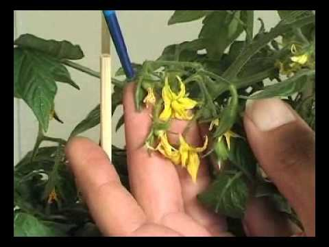 how to cut tomato plants