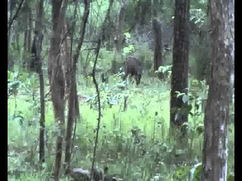 wild bore in mannanur forest A.P iNDIA