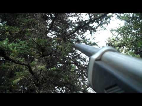 Alaska Squirrel Hunt w/ Pit Bull