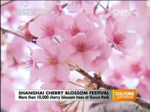 More than 10,000 cherry blossom trees at Gucun Park