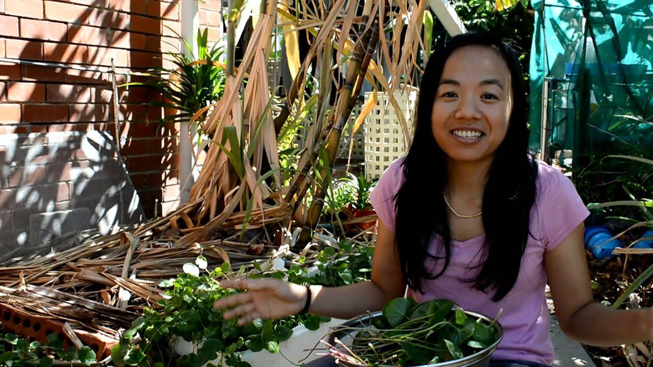 Centella asiatica выращивание 83