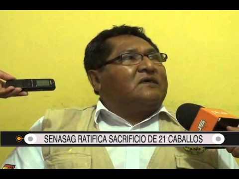 01/09/2014- 13:02 SENASAG RATIFICA SACRIFICIO DE 21 CABALLOS