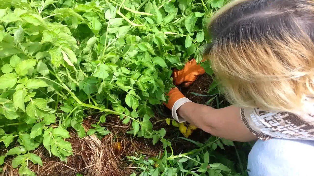 Технология выращивания картофеля под соломой и сеном 79