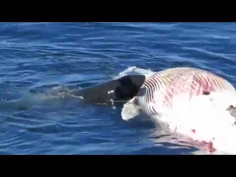 GREAT WHITE SHARK FEEDS ON WHALE