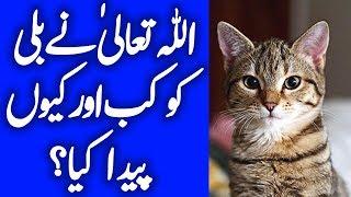Allah Talah Ny Billi (Cat) Ko Kasay Aur Kb Paida Kiya? Timeline