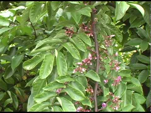 A11 'Kary' carambola tree in summer and fruit seasons